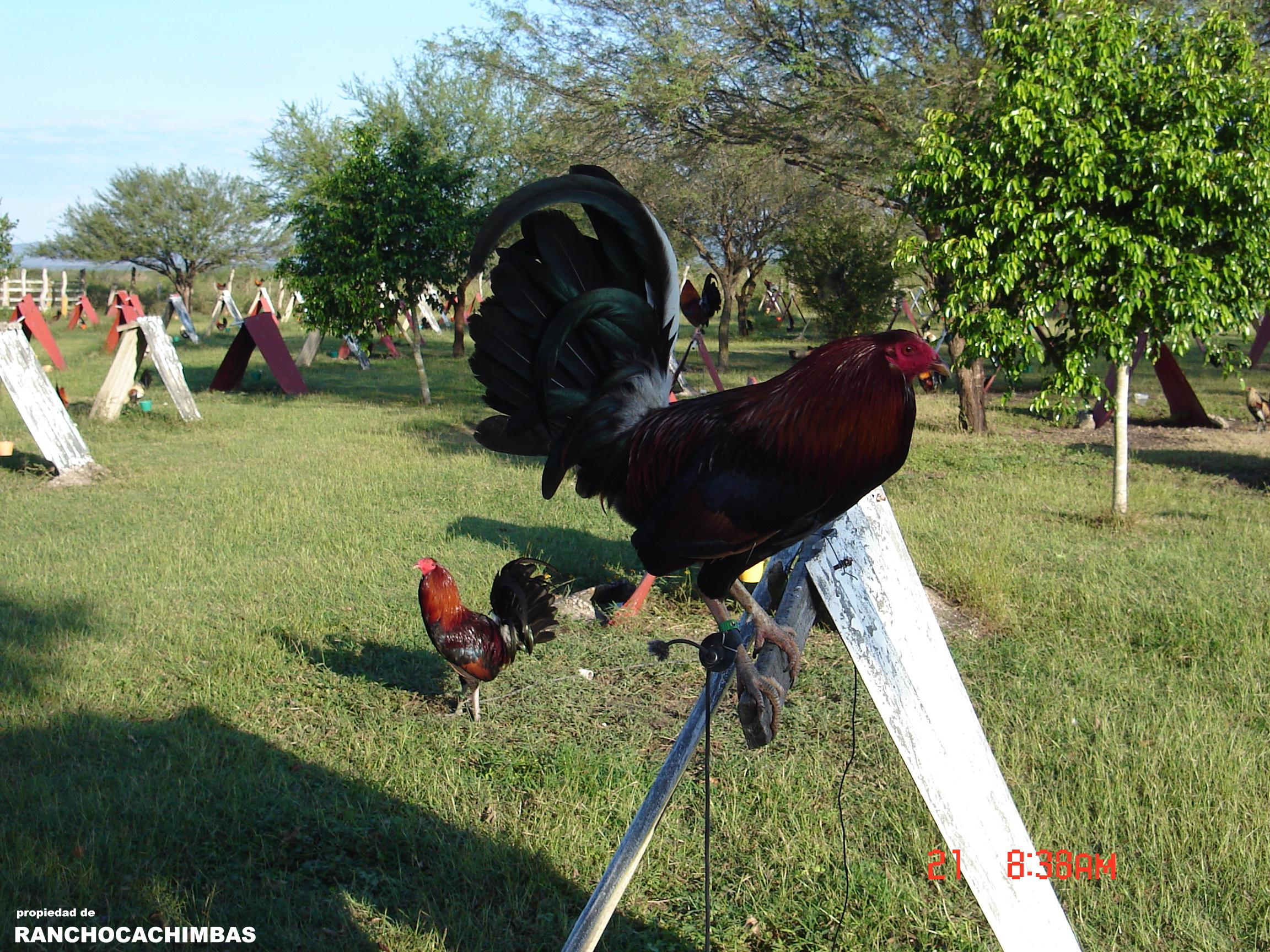 Fotos de los chupadores de gallos